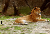 Zookeeper Under Investigation in Taiwan for Crossing Male Lion and Female Bengal Tiger