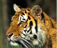 Tiger killed in train accident in India