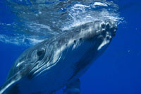 US Navy wins legal permission to hardm whales with low-frequency sonars