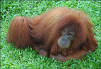 Indonesia begins program to save orangutan habitat