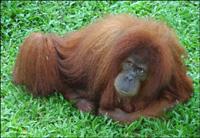 Indonesia begins program to save orangutan habitat
