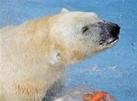 Polar bear to stay in tropics
