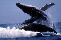 US Navy disagrees with restriction of sonars for protection of whales