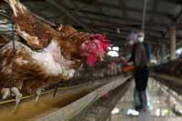 Indonesian man dies of bird flu