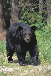 Black bear attacks a sleeping boy at campsite