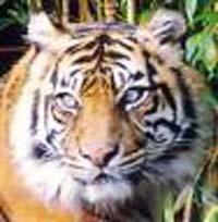 Prices for Sumatran tiger bone used in Asian medicines