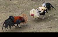 Louisiana governor signs cockfighting ban