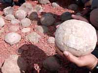 Explorers find over 100 fossilized dinosaur eggs in India