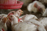 Bird flu outbreak reported in southern Vietnam