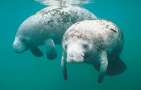 Manatees are not endangered species, official says