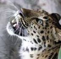 Wild leopard visits Israeli family at night to eat cat