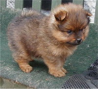 Pomeranian puppy stolen from Naperville pet store