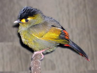 Rare bird spotted in India after 140 years