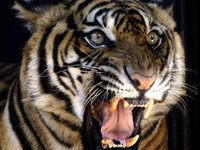 Man sentenced to 14 months in jail for killing Siberian tiger. 48500.jpeg