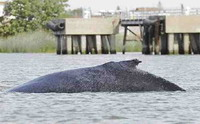 Rescuers fail to save stranded whale calf