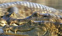 Hunters by far surpass record of alligator kills in Florida