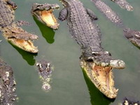100,000 crocodiles to be exported from Mozambique
