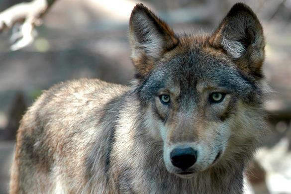 Pack of wolves attack man in dogsled in Russian national park. Wolves attack man