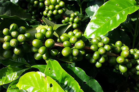 Climate change may destroy coffee plantations around the world. 60515.jpeg