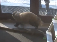 Wild badger breaks into light equipment store in Russia. 52521.png