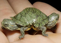 Salmonella outbreak connected with pet turtles
