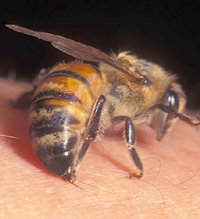 Bee venom successively treats men's most precious organ