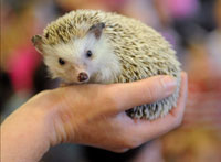 Miniature Hedgehogs Oust Dogs from European Mansions