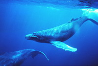 International Whaling Commission starts meeting