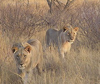Lions of Tsavo Were Friendlier Than Believed Earlier