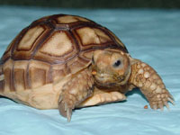 Tortoise returns home after traveling across three towns in Indiana