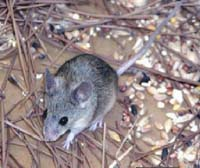 Unusual mouse with large ears and eyes discovered in Cyprus