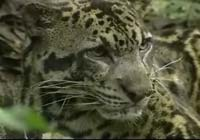 Clouded leopard discovered - biggest predator of Borneo (video)