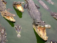 Powerful flooding in Vietnam freed crocodiles from a