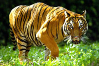 Man Who Ate Rare Tiger Jailed for 12 Years
