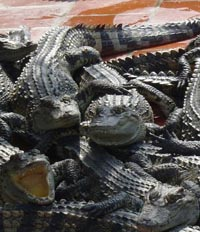 Thai croc farmer moves hundreds of reptiles to stop them escaping in floods