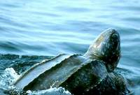 Rare leatherback turtles must be saved from extinction
