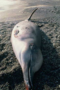 Navy sonar has wrecking effect upon beaked whales in Pacific
