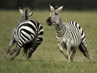 Researchers discover why zebras have stripes. 46585.jpeg