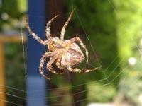 Spider webs could help treat injured knees
