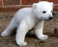 Berlin polar bear Knut falls ill