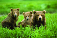 Alaskan hunters fight over McNeil River bears