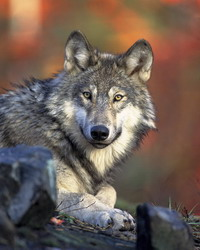 Hunting season for gray wolves starts immediately after ban removal