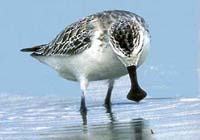 Spoon-billed sandpiper on brink of extinction