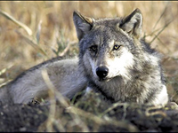 Gray wolf slill under protection