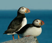 Biologists try to protect puffins in Maine