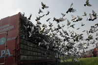 Pigeon racers want their activity to be officially classified as sport