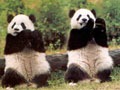 China pandas migrate in search of bamboo