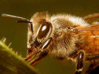 Honeybees mysteriously disappear across USA causing national tragedy