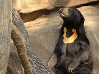 Sun bears face extinction