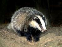 Drunk badger disrupts German traffic